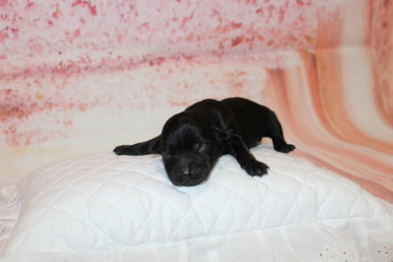 Seabeck Male CKC Yorkipoo $2000 Ready 6/20 HAS DEPOSIT MY NEW HOME YULEE, FL 5.5oz 2 Days old