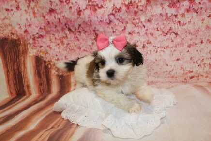 Snickerdoodles Female CKC Havashu $2000 Ready 5/9 HAS DEPOSIT MY NEW HOME GAINESVILLE, FL 2lbs 8oz 6W1D old