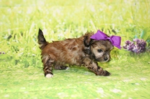 1 Stella Female CKC Malshipoo 1lb 5.5oz 5W4D old (44)