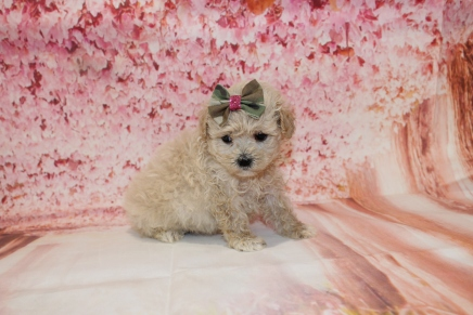 Sundae Female CKC Malshipoo $2000 Ready 5/17 HAS DEPOSIT MY NEW HOME JACKSONVILLE, FL 2lb 5oz 5W1D old