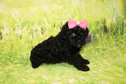 Tiffany Female CKC Malshipoo $2000 Ready 4/30 HAS DEPOSIT MY NEW HOME PONTE VEDRA BEACH , FL 1lb 15oz 5W4D Old