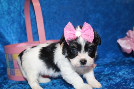 Waffles Female CKC Havanese $1750 Born 2/24 Ready 4/20 HAS DEPOSIT MY NEW HOME IS JACKSONVILLE, FL 1 lb 9 oz 5W1D Old