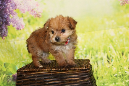 Mikey (Philo) Male CKC Morkie $2000 Ready 4/26 HAS DEPOSIT MY NEW HOME BOYNTON BEACH, FL 1lb 8.5oz 6W1D old