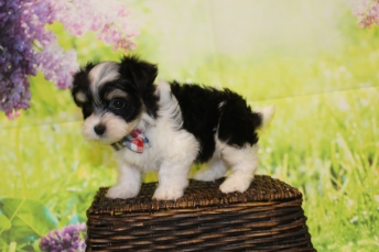 2 Bacon Male CKC Havanese 1lb 11oz 7W3D old (8)