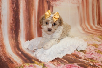 Bebop Female CKC Shihpoo $2000 Ready 5/7 HAS DEPOSIT MY NEW HOME OLIVE BRANCH, MS 1lb 14oz 6W4D old