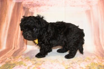Buster Male CKC Maltipoo $1750 Ready 5/14 SOLD MY NEW HOME CORAL GABLES, FL 6W3D old 2lb 3oz