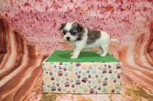 Chantilly Female CKC Malshi $2000 Ready 5/21 HAS DEPOSIT MY NEW HOME ST JOHNS, FL 4W3D old 1lb 4oz
