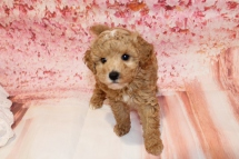 Charlie (Toby) Male CKC Mini Labradoodle $2000 Ready 5/7 HAS DEPOSIT MY NEW HOME ORANGE PARK, FL 2lbs 8oz 7W1D old