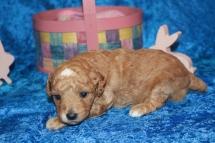 Charlie (Toby) Male Mini Labradoodle $2000 Ready 5/7 HAS DEPOSIT MY NEW HOME ORANGE PARK, FL 1 lb 9.8 oz 2W5D Old