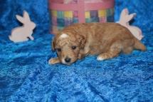 2 Charlie (Toby) Male CKC Mini Labradoodle 1 lb 9.8 oz 2W5D Old (23)
