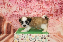 Chocolate Chip Male CKC Havashu $2000 Ready 5/9 SOLD! MY NEW HOME CLEARWATER, FL 2lbs 5oz 6W1D old
