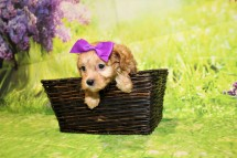Coco Female CKC Malshipoo $2000 Ready 4/30 HAS DEPOSIT MY NEW HOME IS IN POOLER, GA!1lb 15.5oz 5W4D old