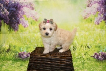 Dior Female CKC Malshipoo $2000 Ready 4/30 HAS DEPOSIT MY NEW HOME ATLANTIC BEACH, FL 1lb 15oz 5W4D Old