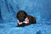 Gentle Male CKC Maltipoo $1750 Ready 5/8 HAS DEPOSIT MY NEW HOME ST AUGUSTINE, FL 1LB 1 oz 2W5D old