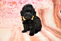 Gentle Male CKC Maltipoo $1750 Ready 5/8 SOLD MY NEW HOME ST AUGUSTINE, FL 1lb 9.5oz 6W3D old