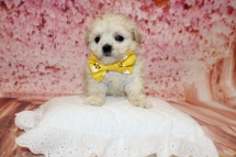 Klondike Male CKC Malshipoo $2000 Ready 5/17 HAS DEPOSIT 1lb 3.5oz 5W1D old