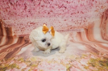 Lace Female CKC Malshi $2000 Ready 5/21 HAS DEPOSIT! MY NEW HOME IS IN ST. LUCIE, FL 1lb 7oz 4W3D old