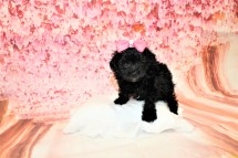 Love Female CKC Maltipoo $1750 Ready 5/8 SOLD! MY NEW HOME IS IN MURPHY, NC 1lb 2oz 6W3D old
