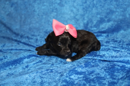 Love Female CKC Maltipoo $1750 Ready 5/8 HAS DEPOSIT! MY NEW HOME IS IN MURPHY, NC 9.5oz 2W5D old