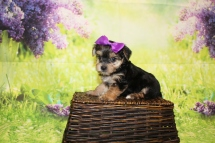 Luna Female CKC Morkie $2000 HAS DEPOSIT MY NEW HOME JACKSONVILLE, FL 1lb 10.5oz 6W1D old