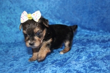 Luna Female CKC $2000 Ready 4/26 HAS DEPOSIT MY NEW HOME JACKSONVILLE, FL 1lb 5.2oz 4W2D old