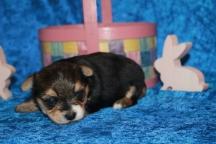 2 Mighty Dog CKC Havashire Male 1 Lb 5.5 oz 3 Weeks (11)