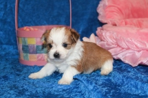 Myka Female CKC Morkie HAS DEPOSIT MY NEW HOME FORT LAUDERDALE, FL 1 lb 5.3 oz 4W2D Old