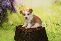 2 Myka Female CKC Morkie 1lb 9oz 6W1D old (6)