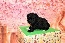 Nutty Buddy Male CKC Malshipoo $1750 Ready 5/17 HAS DEPOSIT MY NEW HOME ST JOHNS, FL 1lb 4oz 4W3D old