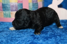 Nutty Buddy Male CKC Malshipoo $1750 Ready 5/17 AVAILABLE 9 oz 1W3D Old