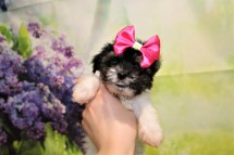 2 Pancake Female CKC Havanese 1lb 6oz 7W3D old (32)