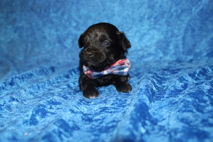 Peace Male CKC Maltipoo $1750 Ready 5/8 AVAILABLE 13 OZ 2W5D old