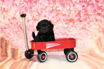 Peace Male CKC Maltipoo $1750 Ready 5/8 SOLD MY NEW HOME WINDERMERE, FL 6oz 6W3D old