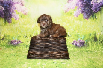 Reed (Ollie) Male CKC Havanese $2000 Ready 4/30 HAS DEPOSIT MY NEW HOME JACKSONVILLE, FL 2lbs 10.5oz 5W4D old