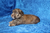 Reed Male CKC Havanese $2000 Ready 4/30 AVAILABLE 2 Lbs 4oz 3W5D old
