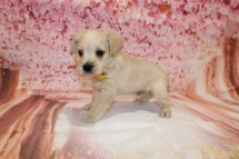 Rolly Male CKC Schnoodle $2000 Ready 5/16 HAS DEPOSIT MY NEW HOME ELKTON, FL 2 lbs 9oz 5W1D old