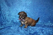 Rudy Male CKC Havanese $2000 Ready 4/30 HAS DEPOSIT MY NEW HOME 1 Lb 10 oz 3W5D old