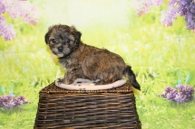 Rudy Male CKC Havanese $2000 Ready 4/30 HAS DEPOSIT MY NEW HOME FORT LAUDERDALE, FL 1lb 15oz 5W4D old