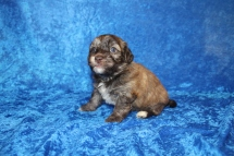 Rusty Male CKC Havanese $2000 Ready 4/30 AVAILABLE 2 Lbs 3W5D old