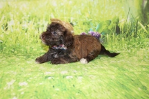2 Rusty Male CKC Havanese 2lbs 9.5oz 5W4D old (31)