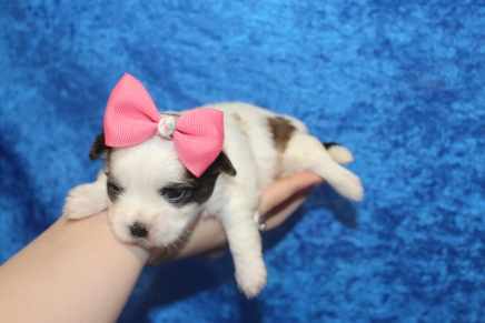 Snickerdoodle Female CKC Havashu $2000 Ready 5/9 AVAILABLE 3oz 2W3D old