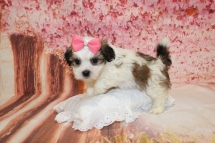 Snickerdoodles Female CKC Havashu $2000 Ready 5/9 SOLD MY NEW HOME GAINESVILLE, FL 2lbs 8oz 6W1D old