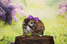 Stella Female CKC Malshipoo $2000 Ready 4/30 HAS DEPOSIT MY NEW HOME IS ST JOHNS, FL 1lb 5.5oz 5W4D old