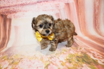 Stitch Male CKC Havapoo $2000 Ready 5/16 HAS DEPOSIT MY NEW HOME VERO BEACH, FL 1lb 13oz 5W1D old