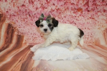 Sugar Female CKC Havashu $2000 Ready 5/9 SOLD MY NEW HOME JACKSONVILLE, FL 1lb 15oz 6W1D old