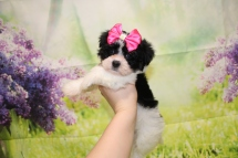Waffle (Rosie) Female CKC Havanese $1750 Ready 4/20 SOLD MY NEW HOME IS JACKSONVILLE, FL 1lb 14oz 7W3D old
