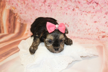Anna Female CKC Havashire $2000 Ready 5/16 HAS DEPOSIT MY NEW HOME NAPERVILLE, IL 1lb 10.5oz 5W1D old