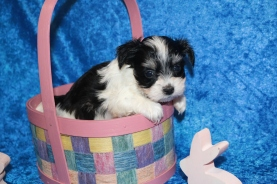 Bacon Male CKC Havanese HAS DEPOSIT! MY NEW HOME IS IN PONTE VEDRA, FL! 1 lb 7.2 oz 5W1D Old
