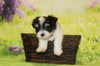 3 Bacon Male CKC Havanese 1lb 11oz 7W3D old (5)
