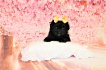 3 Banana Split Female CKC Malshipoo 1lb 9oz 5W1D old (42)